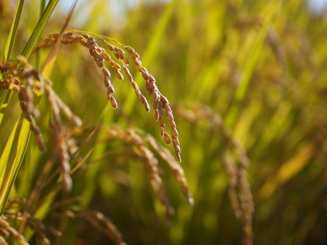 稲穂 玄米