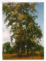 自生樹木ボスウェリア・セラータ